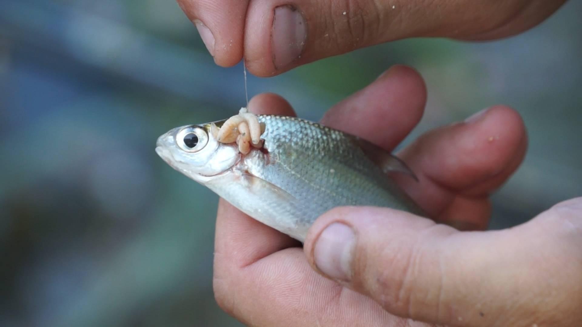 Перловка для рыбалки, как приготовить перловку 46